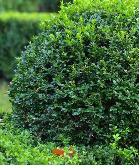 Evergreen Lawncare and Landscape Inc. Shrubs & Hedges